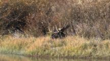 Shiras Bull Moose Resting At Rivers Edge, Turns Head, Water Reflecting Off Antlers