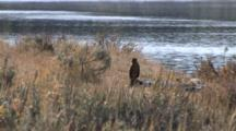 Northern Harrier Perched On Ground By River, Exits