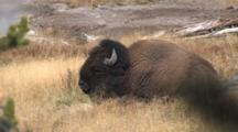 American Bison Resting In Thermal Area, Chewing Cud
