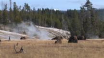 American Bison Resting In Thermal Area, One Lies Down