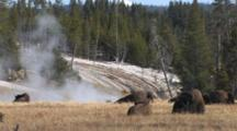 American Bison Resting In Thermal Area