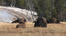 American Bison, Close In Group, Resting In Thermal Area