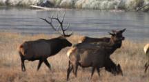 Bull Elk Walking Among Cows, Checking For Estrus