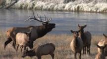 Bull Elk Standing With Cows By River, Bugles