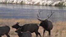 Bull Elk, Checking Cows For Estrus, Bugles