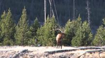 Bull Elk Standing On Hilltop, Listening, Bugles
