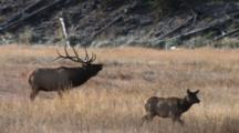 Bull Elk Standing In Field, Bugles, Calf Walks By