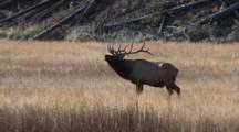 Bull Elk Smelling Cows, Flemen, Looking At Camera, Bugles