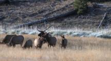 Bull Elk Herding Cows And Calves, Bugles