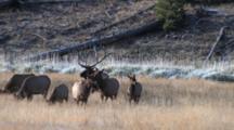 Bull Elk Herding Cows And Calves, Bugles