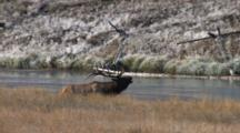 Bull Elk Bugles, Crosses River, Climbs Hill To Chase Off Rival
