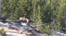 Bull Elk, Running Through Timber To Chase Off Rival, Stops