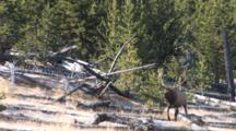 Bull Elk, Coming Out Of Timber, Walking Around Downed Trees, Bugles