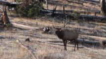 Bull Elk, Walking Among Downed Trees Along Hillside, Tries To Bugle