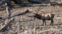 Bull Elk Walking Along Hillside, Bugles
