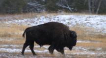 American Bison Bull, Walking Through Thermal Area