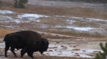 American Bison Bull, Walking Through Thermal Area, Exits
