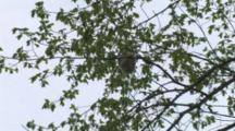 Oriole Weaving Nest, Working Deep Inside Nest Structure, Zoom To High Elm Tree Location