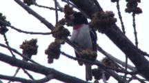 Rose-Breasted Grosbeak Singing In Tree, Looking Around