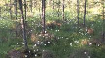 Common Cottongrass, Northern Boreal Forest Bog