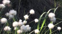 Common Cottongrass,  Zoom To Wa, Northern Boreal Forest Bog
