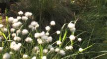 Northern Boreal Forest Bog, Zoom To Cu Common Cottongrass