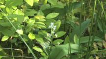 Three-Leafed False Solomon's Seal Wildflower, Zoom To Northern Boreal Bog Habitat