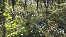 Common Cottongrass, Large Group, Northern Boreal Forest Bog