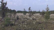 Conifer Bog, Black Spruce, White Pines, Common Cottongrass, Northern Boreal Forest Bog