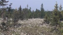 Conifer Bog, Black Spruce And Field Of Common Cottongrass, Northern Boreal Forest Bog