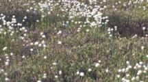 Field Of Common Cottongrass, Heads Blowing In Slight Breeze, Northern Boreal Forest Bog