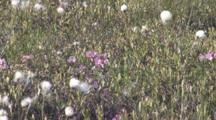 Field Of Common Cottongrass, Pink Blossoms, Northern Boreal Forest Bog
