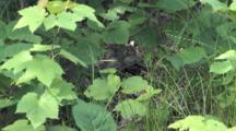 Ruffed Grouse Chick Running, Hiding In Understory