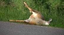 White-tailed Deer Lying On Side Of Road, Bloated Roadkill