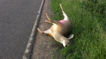 White-tailed Deer Lying On Side Of Road, Roadkill, Swollen From Heat