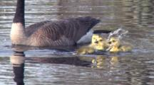Canada Goose Family, Goslings Playing In Water For First Time, Splashing, Diving