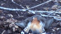 Kildeer Parent Protecting Nest, Feining Injury Twice, Turns Toward Camera, Exits Left
