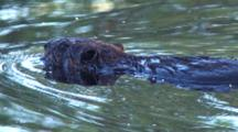 Swimming Beaver, Turns, Sniffing Air For Danger