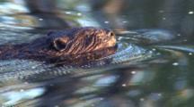 Swimming Beaver, Sniffing Air For Danger