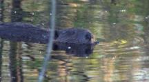 Beaver Floating In Pond, Sniffing Air For Danger, Turns