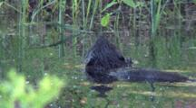 Beaver Floating In Pond, Sniffing Air For Danger, Turns In Circle