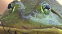Bullfrog, Close Up Face, Looking At Camera