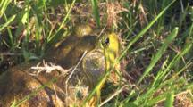 Male Bullfrog, Hiding In Grass