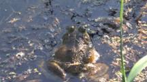 Large Male Bullfrog, Hiding In Water, Back Of Head, Body