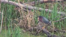 Green Heron Standing Quietly On Log In Pond