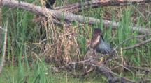 Green Heron On Log In Pond, Preening, Working Mouth, Grackle Lands, Walks In Bground
