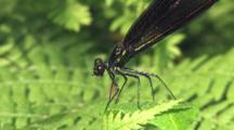 Female Ebony Jewelwing Damselfly, Eating Entire Mosquito Prey