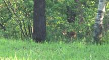 Day Old White-tailed Deer Fawn,Walks Into Woods To Hide