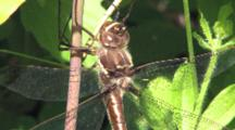 Stream Cruiser Dragonfly, Male Perched On Branch, Cu Of Thorax, Body, Exits