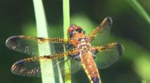Sunlight On Dragonfly Wings, Male Painted Skimmer